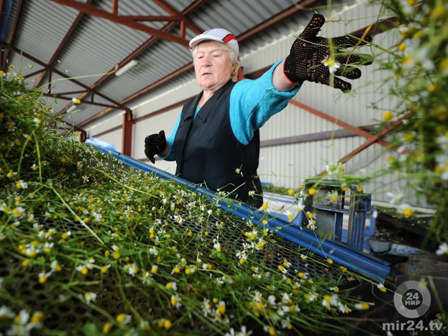 Бизнес на выращивании лекарственных растений