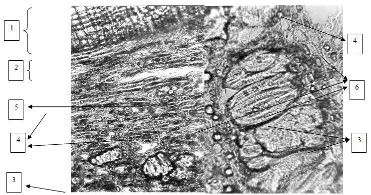 Кора калины Гордовины. Поперечный срез